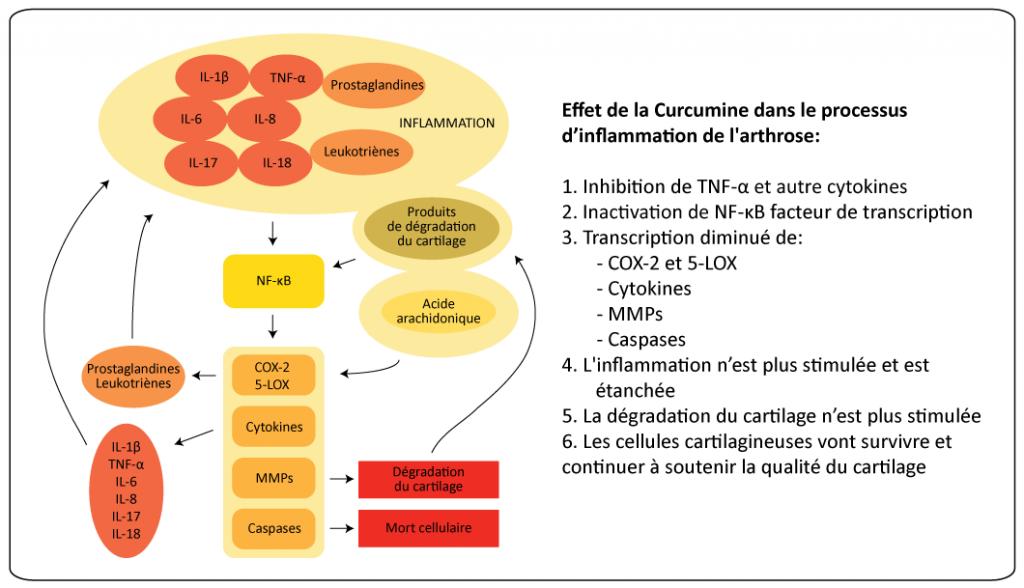 (Cliquez pour agrandir) Illustration schématique des processus de l'inflammation dans l'arthrose, dans laquelle la curcumine peut jouer un rôle de l'inhibition