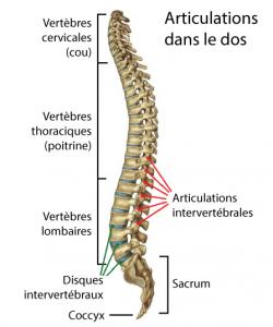 articulations-dos-arthrose