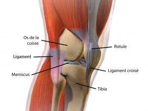 Illustration de la complexité de l'articulation du genou